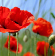 Coquelicots httpswww.shutterstock.comfrimage-photomeadow-wild-poppies-on-shiny-summer-54274183